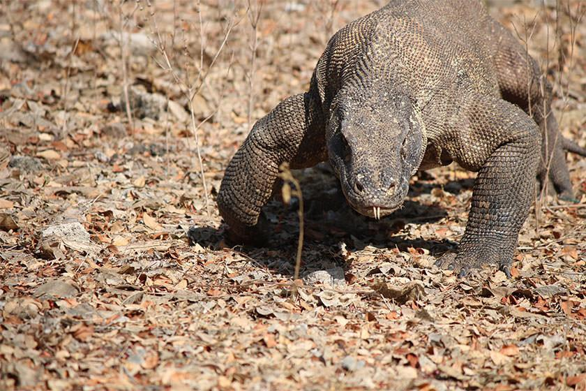 آیا ازدحام گردشگران در پارک ملی کومودو باعث تعطیلی آن می گردد؟