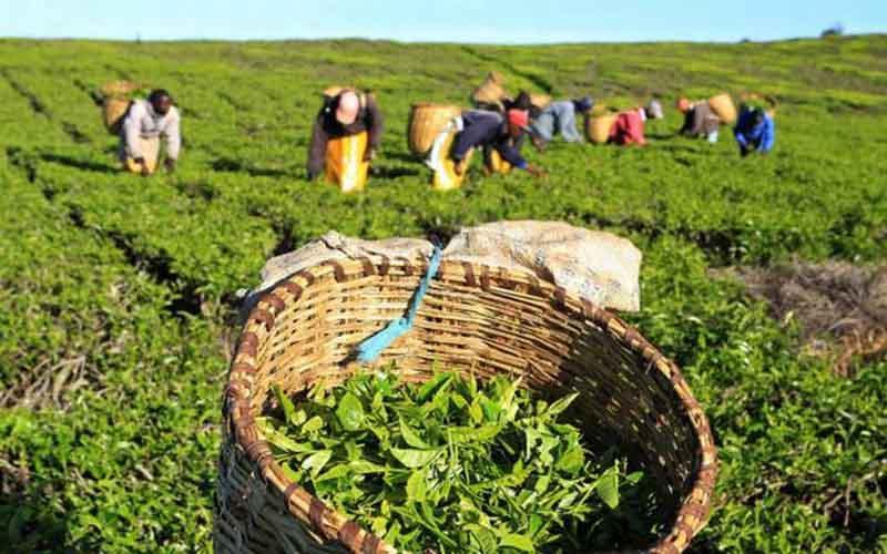 پرداخت 544 میلیارد ریال تسهیلات به چایکاران و کارخانه های چای