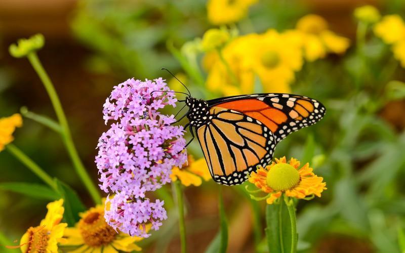 همه چیز در خصوص پروانه های شهریار؛ تنها گونه پروانه مهاجر در دنیا!
